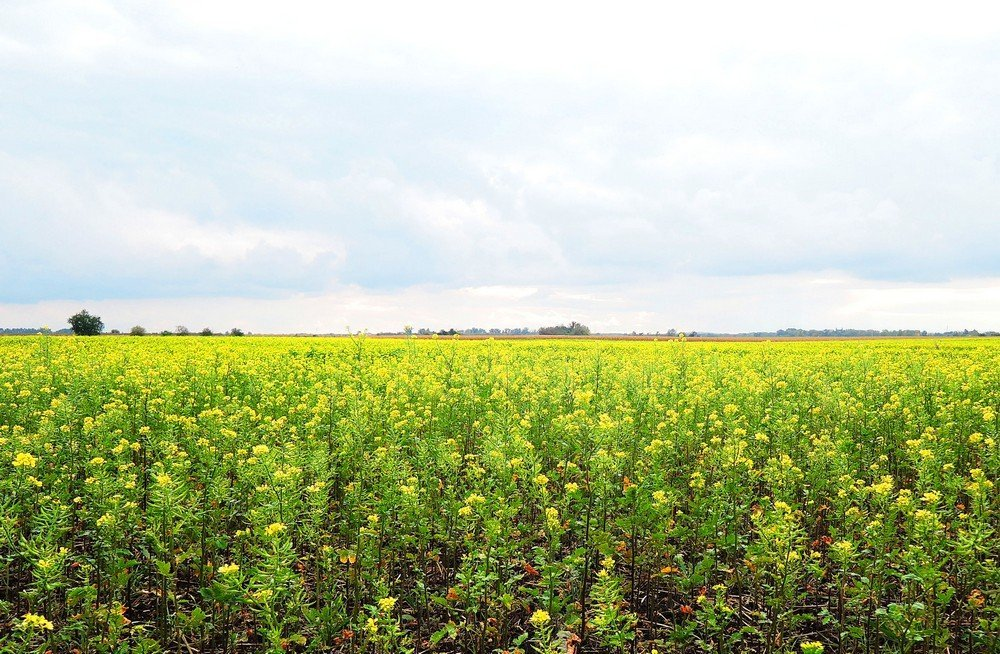 South Moravia road trip - fields of rapeseed flowers